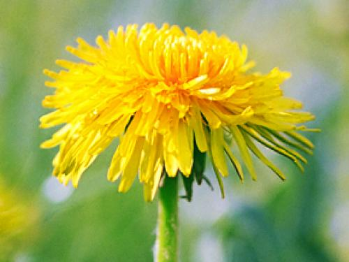 Tires Made From Dandelions Replace Rubber